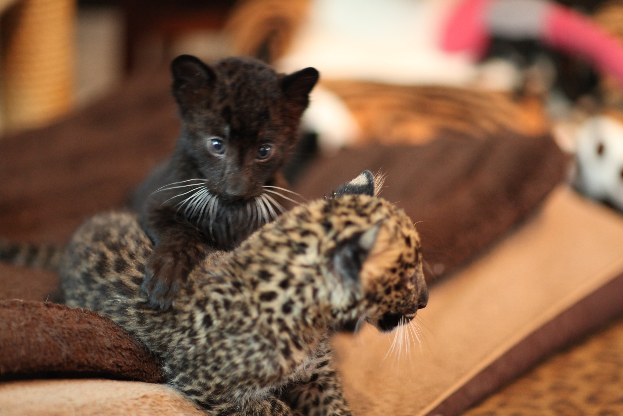 leopards_1_20170915_1285744766-view=image&format=raw&type=orig&id=165.jpg