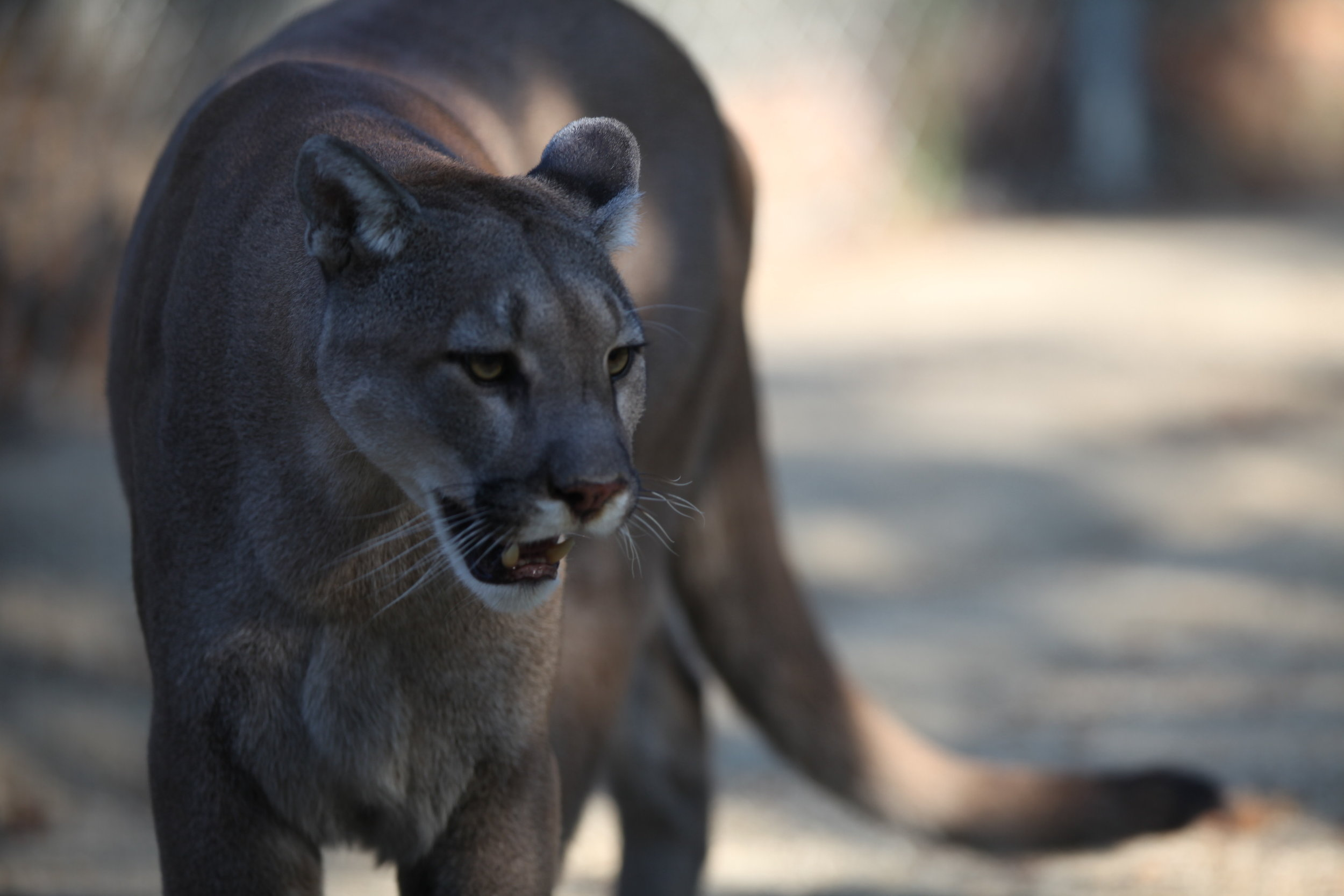 cougar_4_20170915_1820450032-view=image&format=raw&type=orig&id=240.jpg