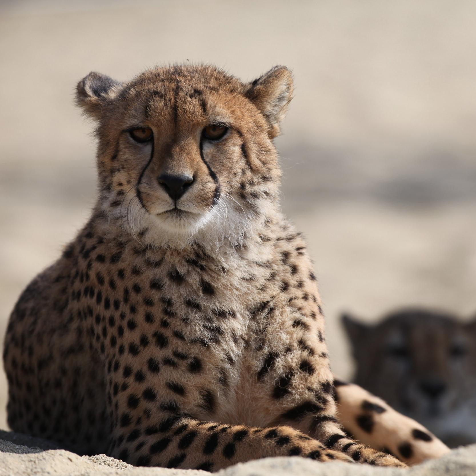 Cheetah -