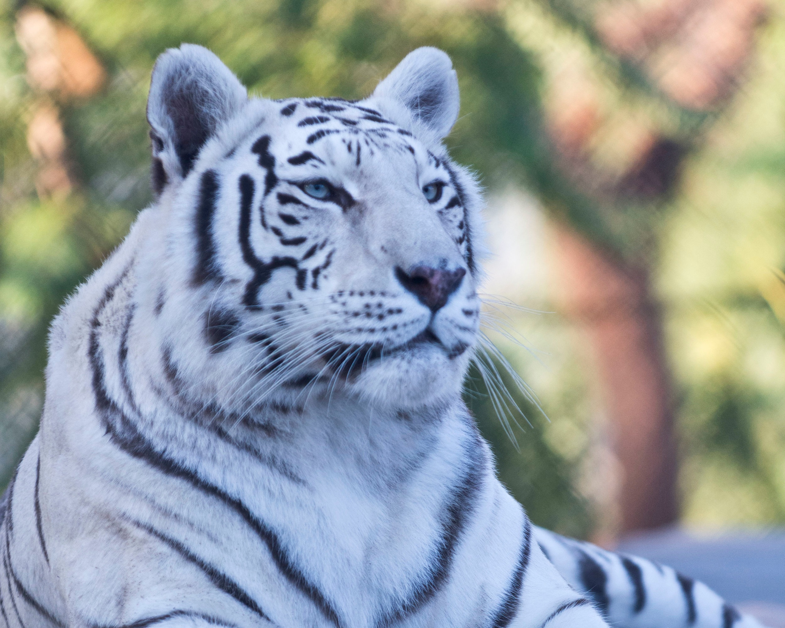 tigers_3_20170915_1335695256-view=image&format=raw&type=orig&id=182.jpg