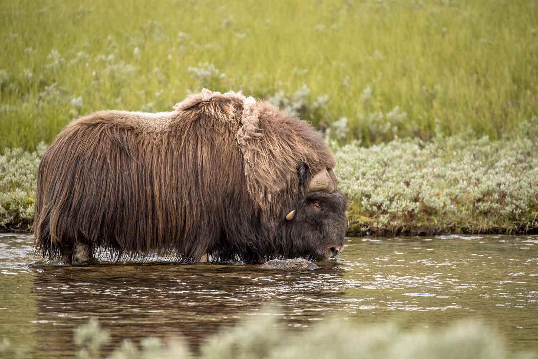 Photo: Sigbjorn Frengen/Oppdal Safari