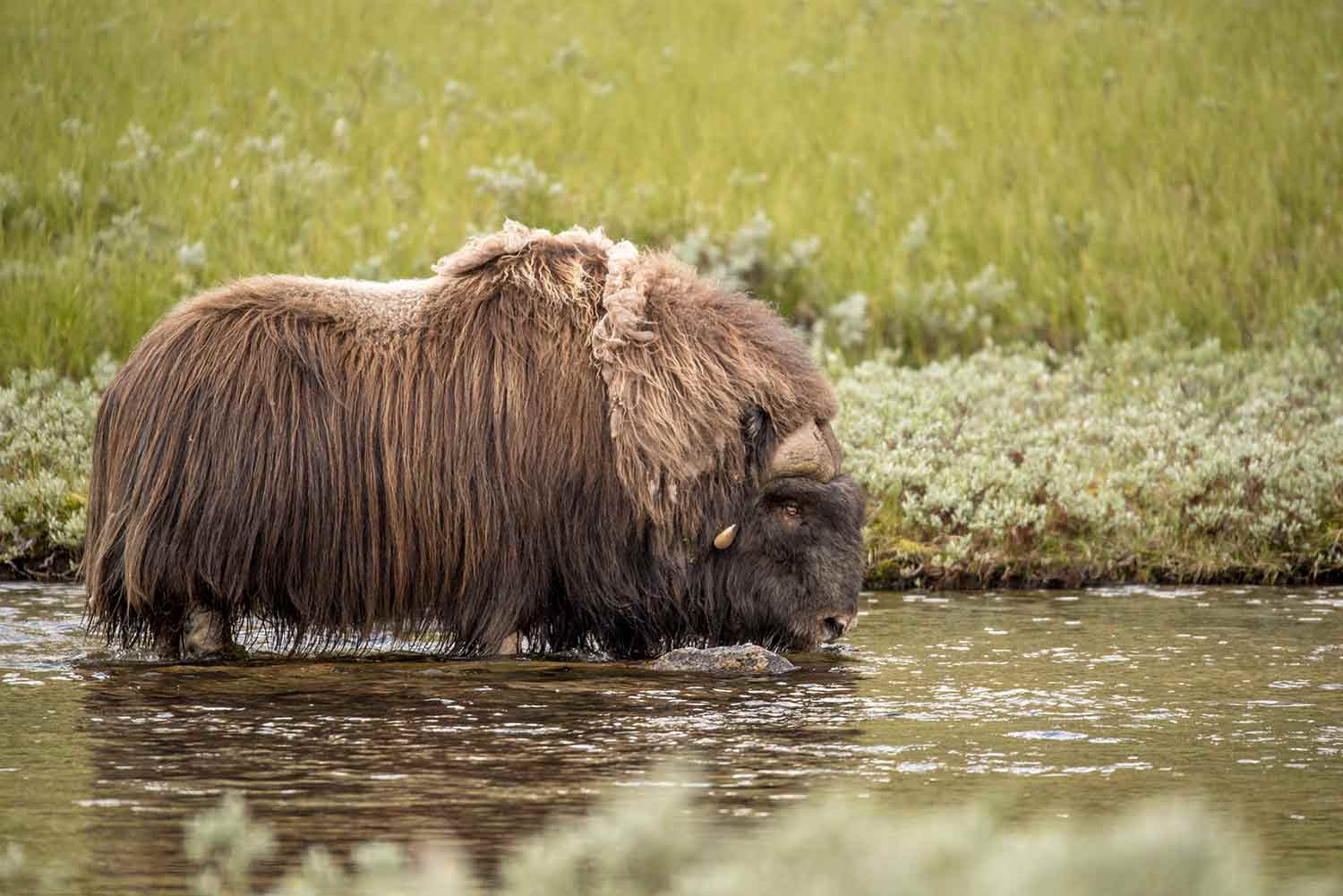 Wildlife safaris - Musk Ox