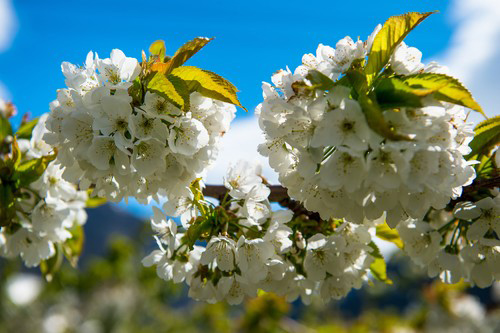 Fruit orchards in bloom in Hardanger