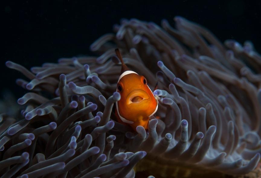 Nemo/Clown fish