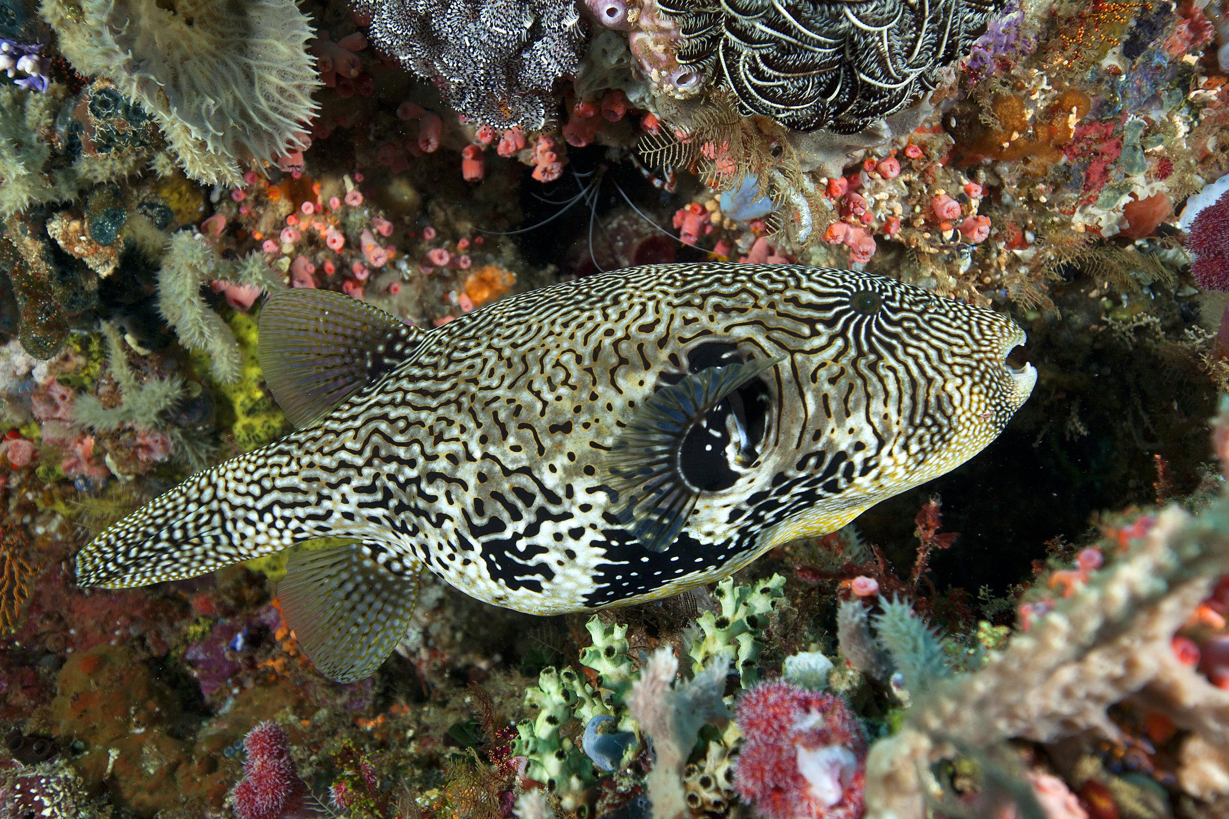 Puffer fish Scuba Diving