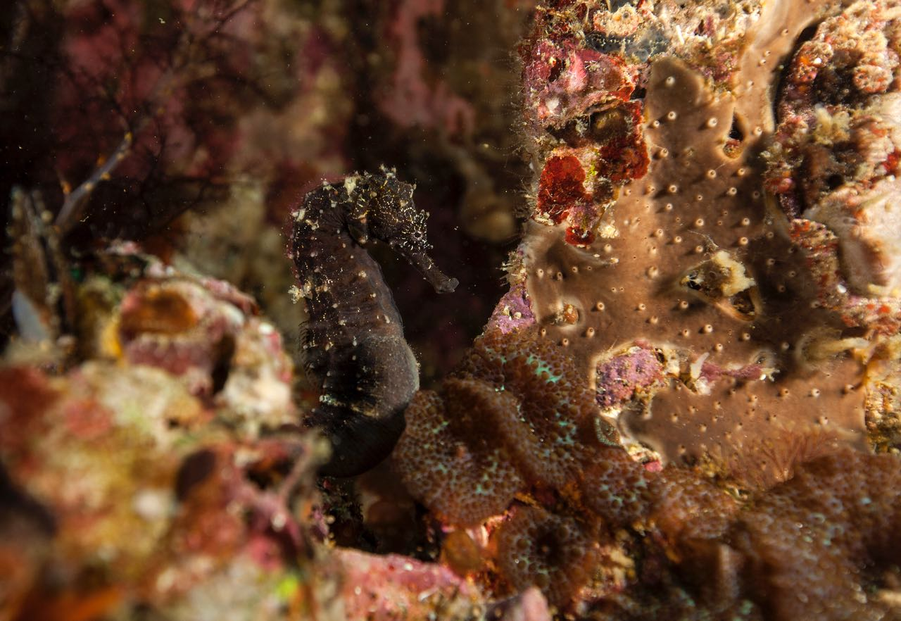Sea horse at Malapascua with Lacadives dive travel
