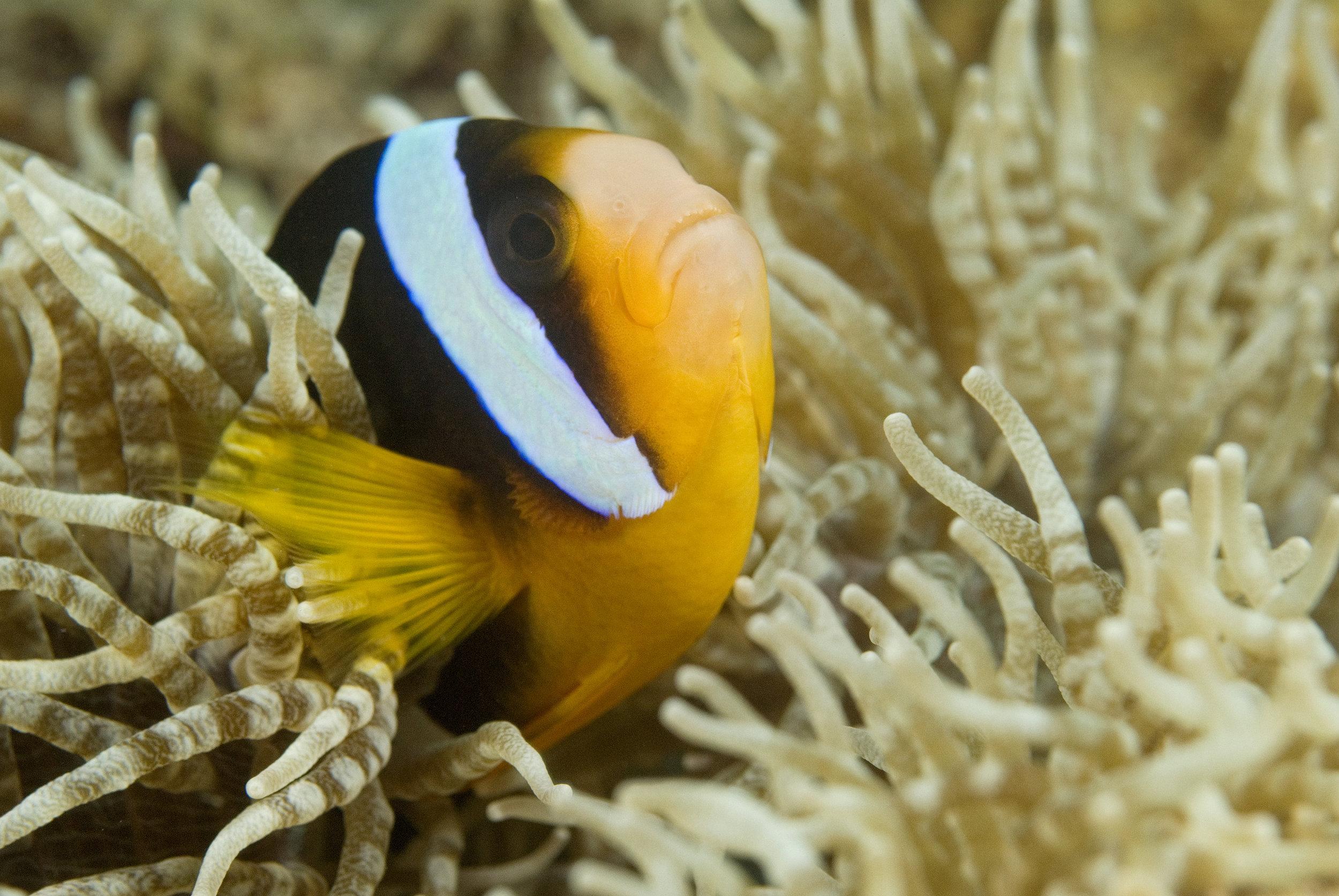 clown fish cu.jpg