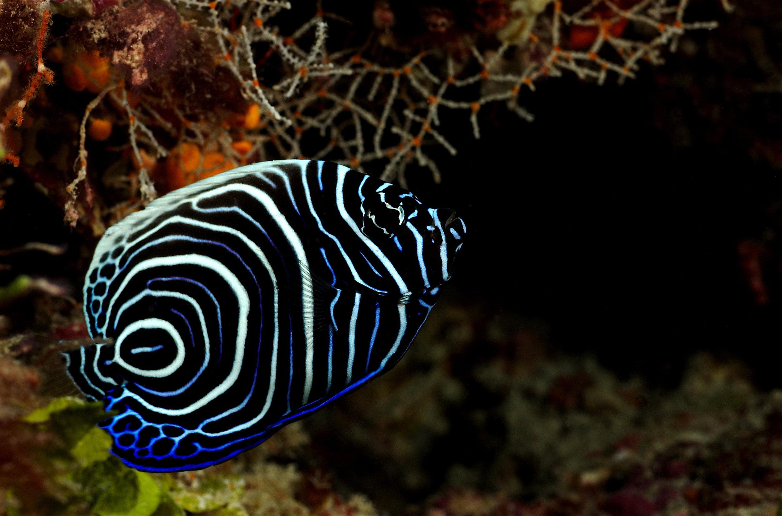 Juvenile Angle fish.jpg