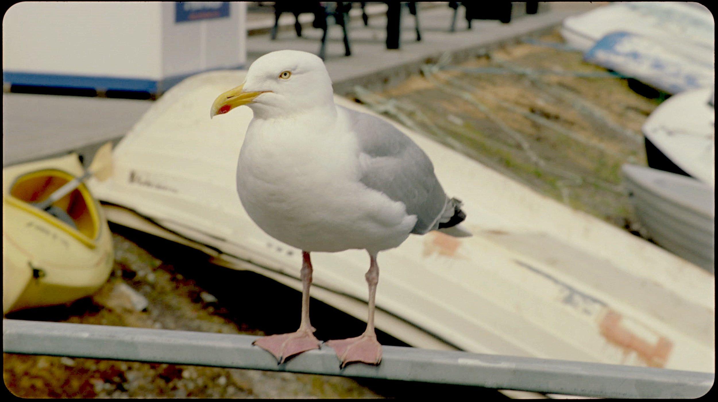 Seagull 'Cladach' film still CREDIT Margaret Salmon 2018.jpg