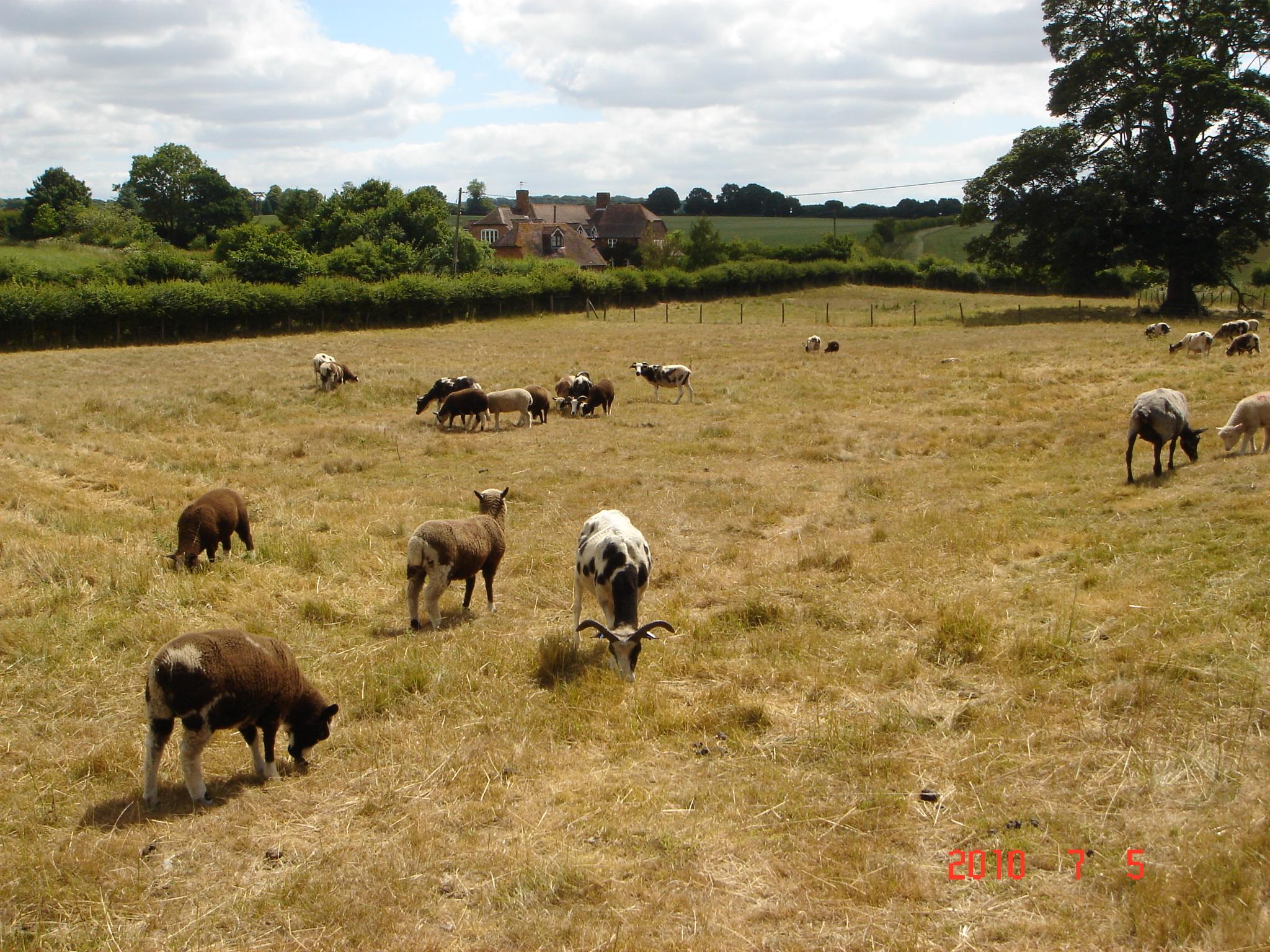 1 sheep nibbling PV.JPG