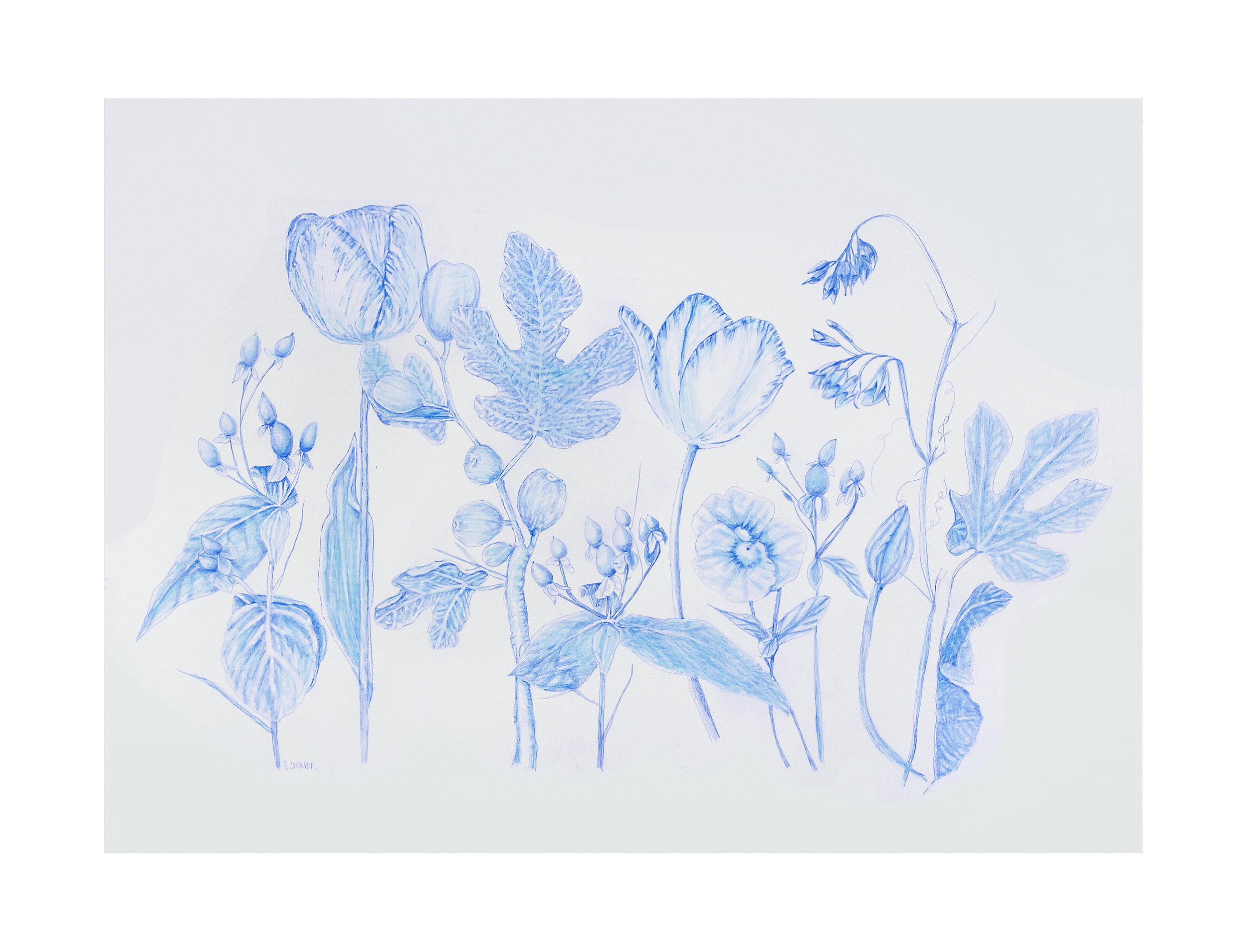 Botanical 1 Blue Pencil on Arches Paper 22 x 30 inches 2018