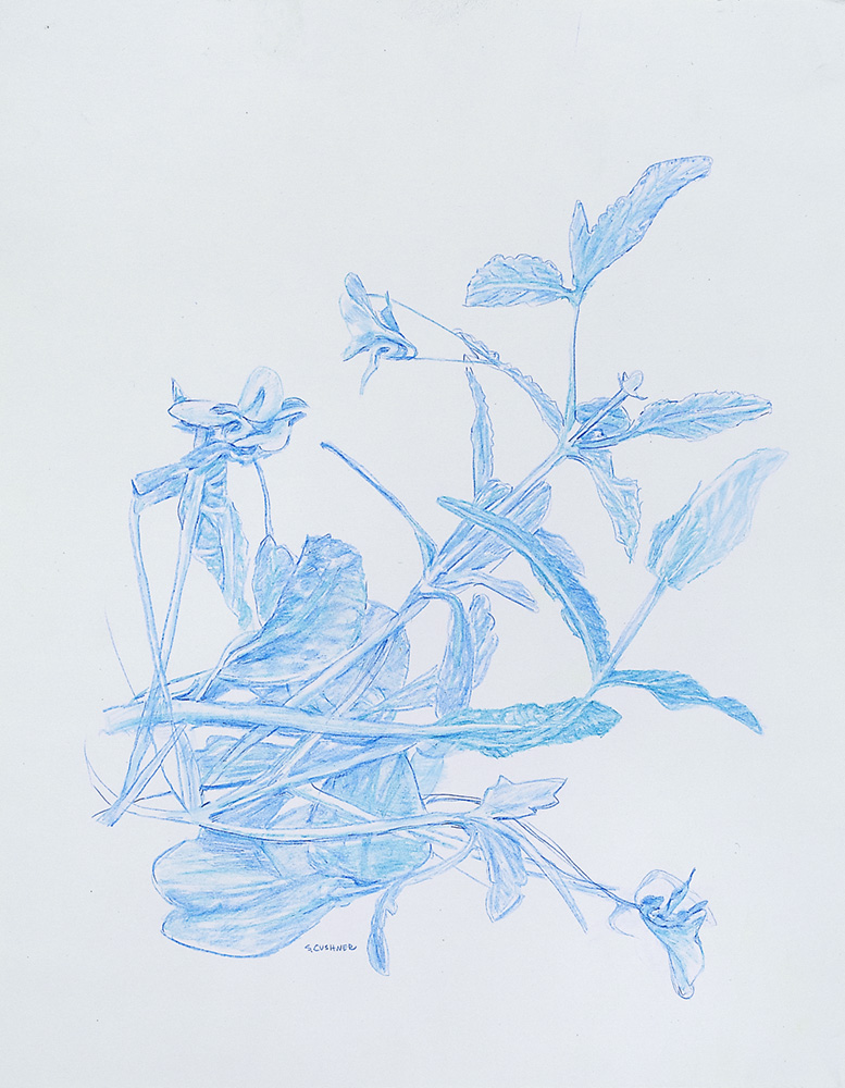 Botanical 2 Blue Pencil on Arches Paper 11 x 14 inches 2018