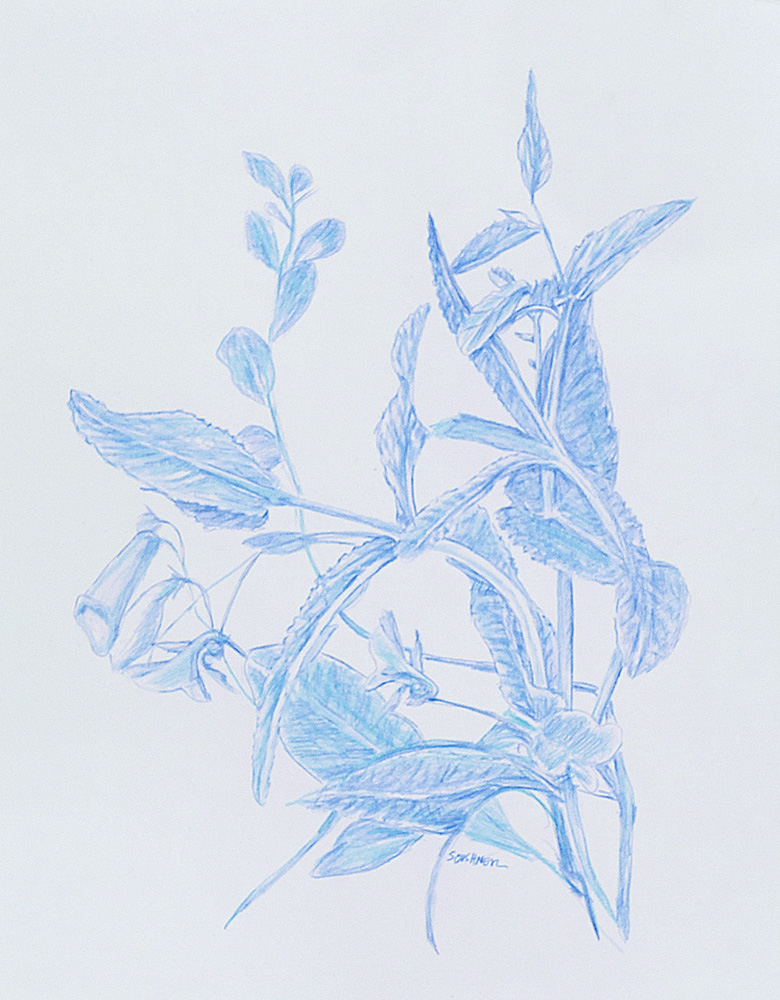 Botanical 3 Blue Pencil on Arches Paper 11 x 14 inches 2018