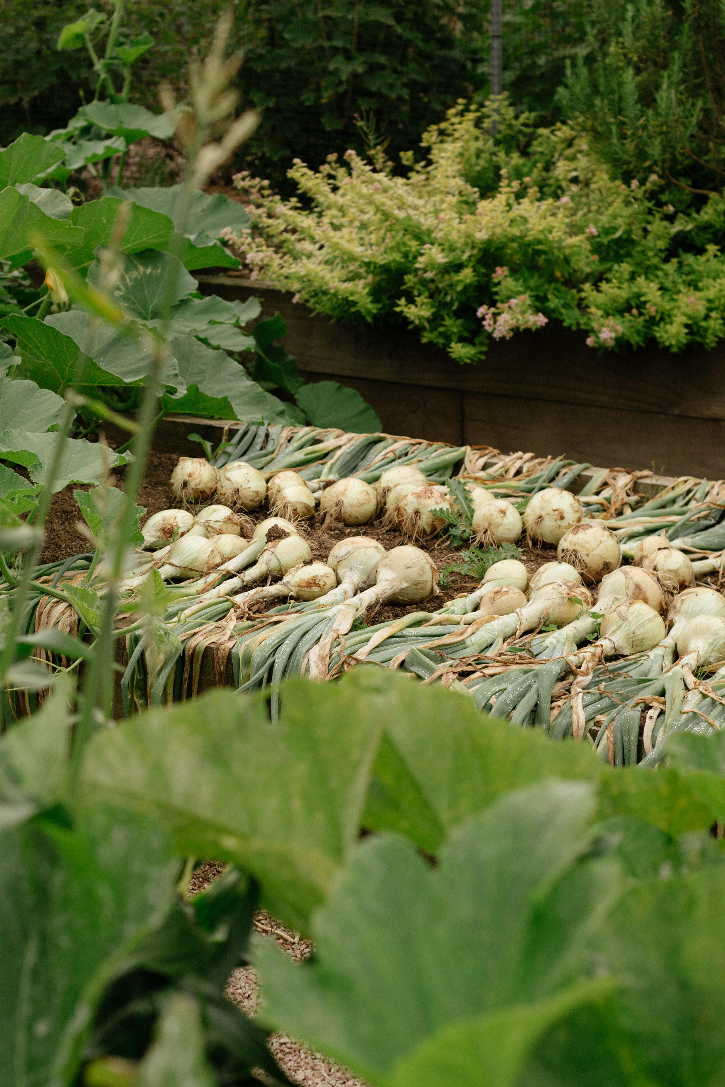 Onion bulbs drying in the sun.
