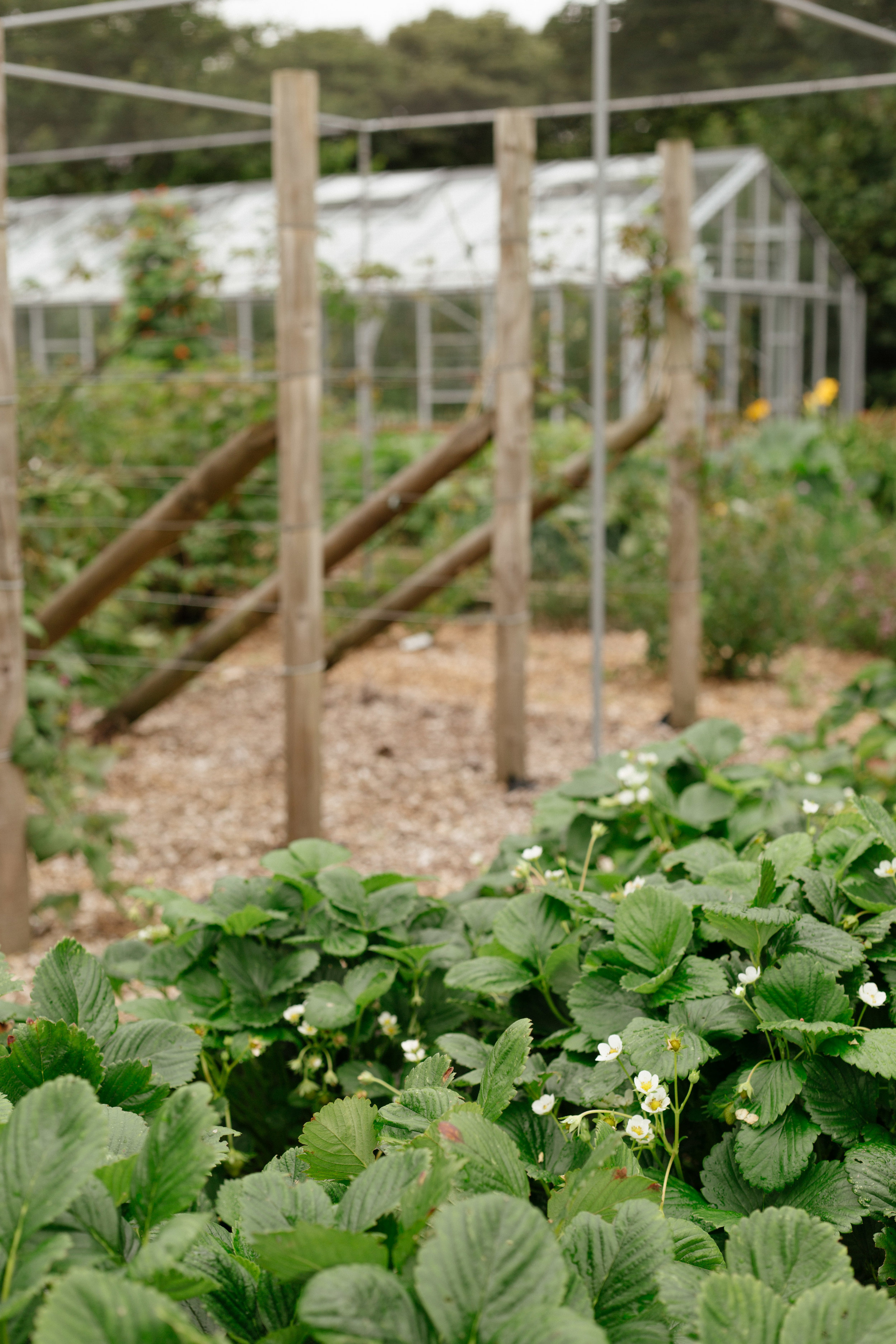 Flowering strawberry bushes protected under netting in the garden.