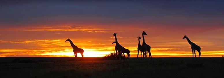 giraffes-at-sunset-at-masai-mara-np-long.jpeg