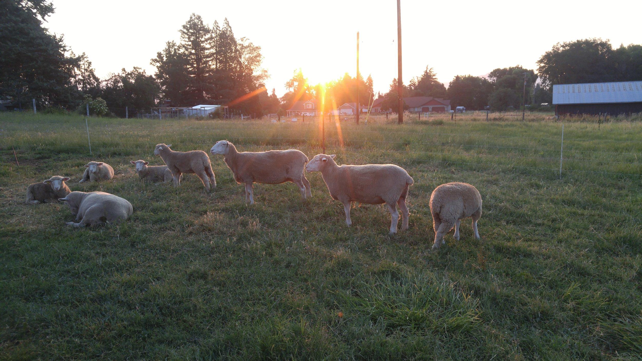 sheep in morning sun.jpg