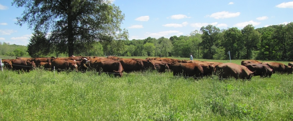Actual American cattle on pasture!