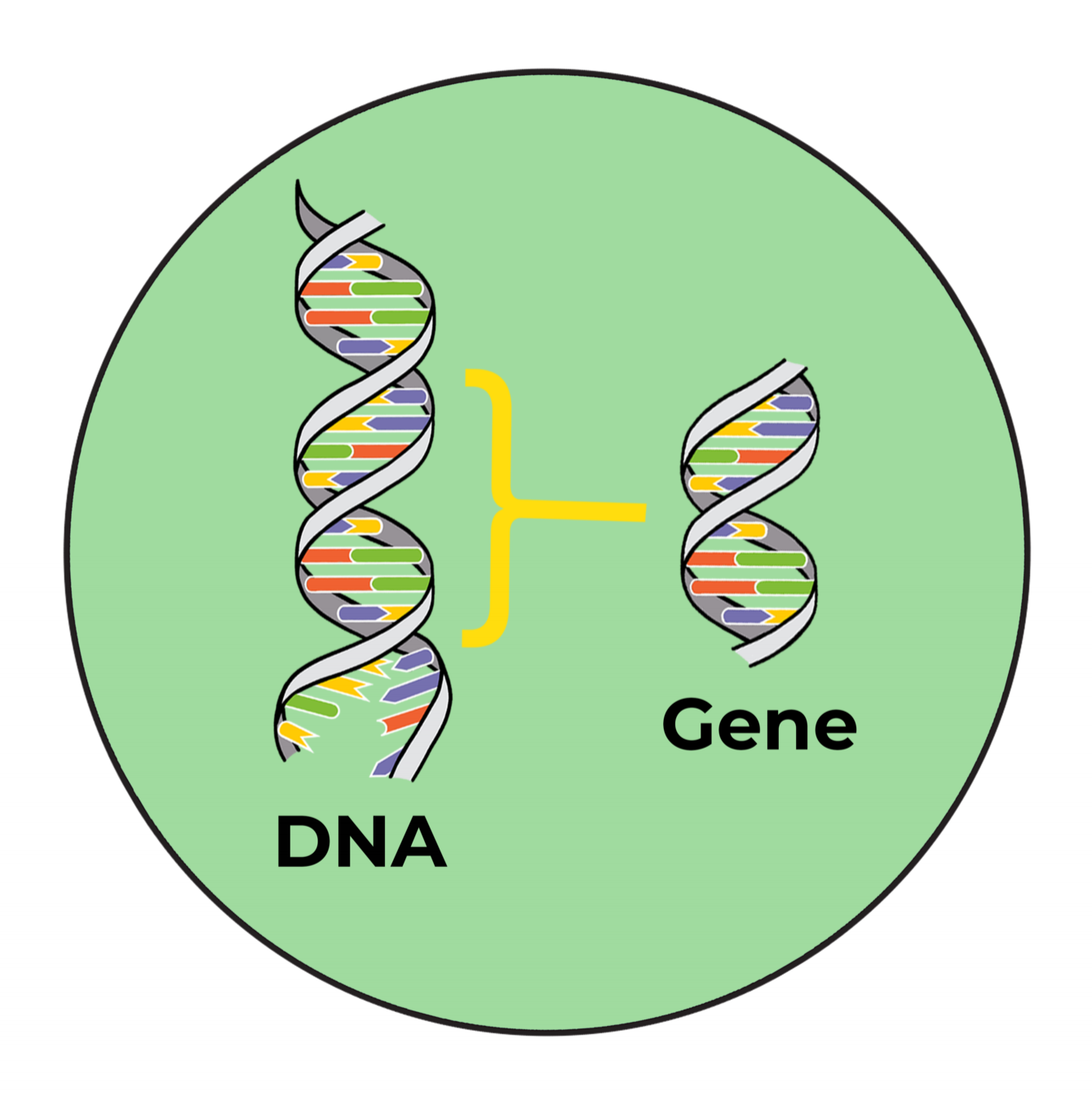 DNA and gene.png