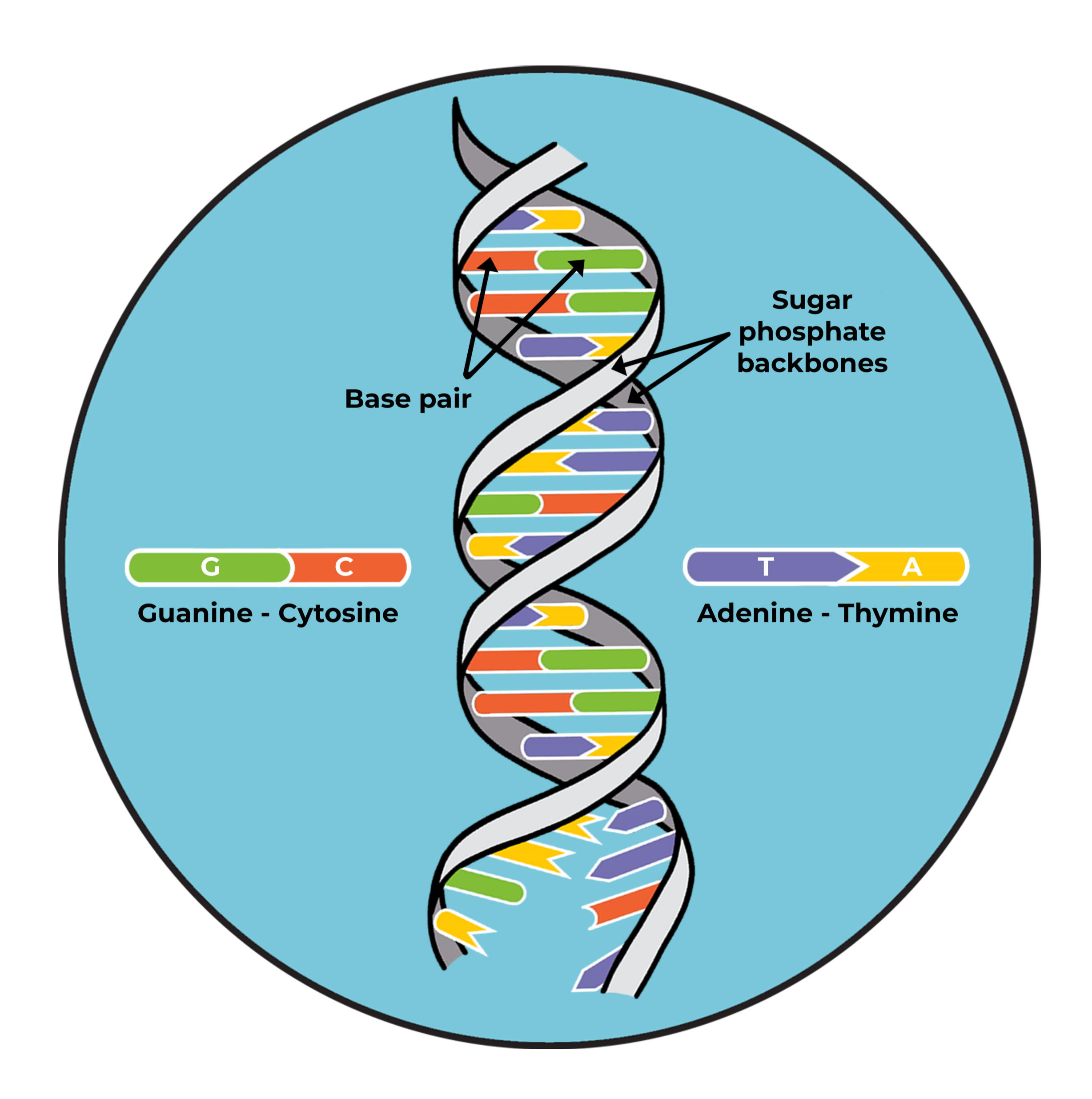 Structure of DNA.png