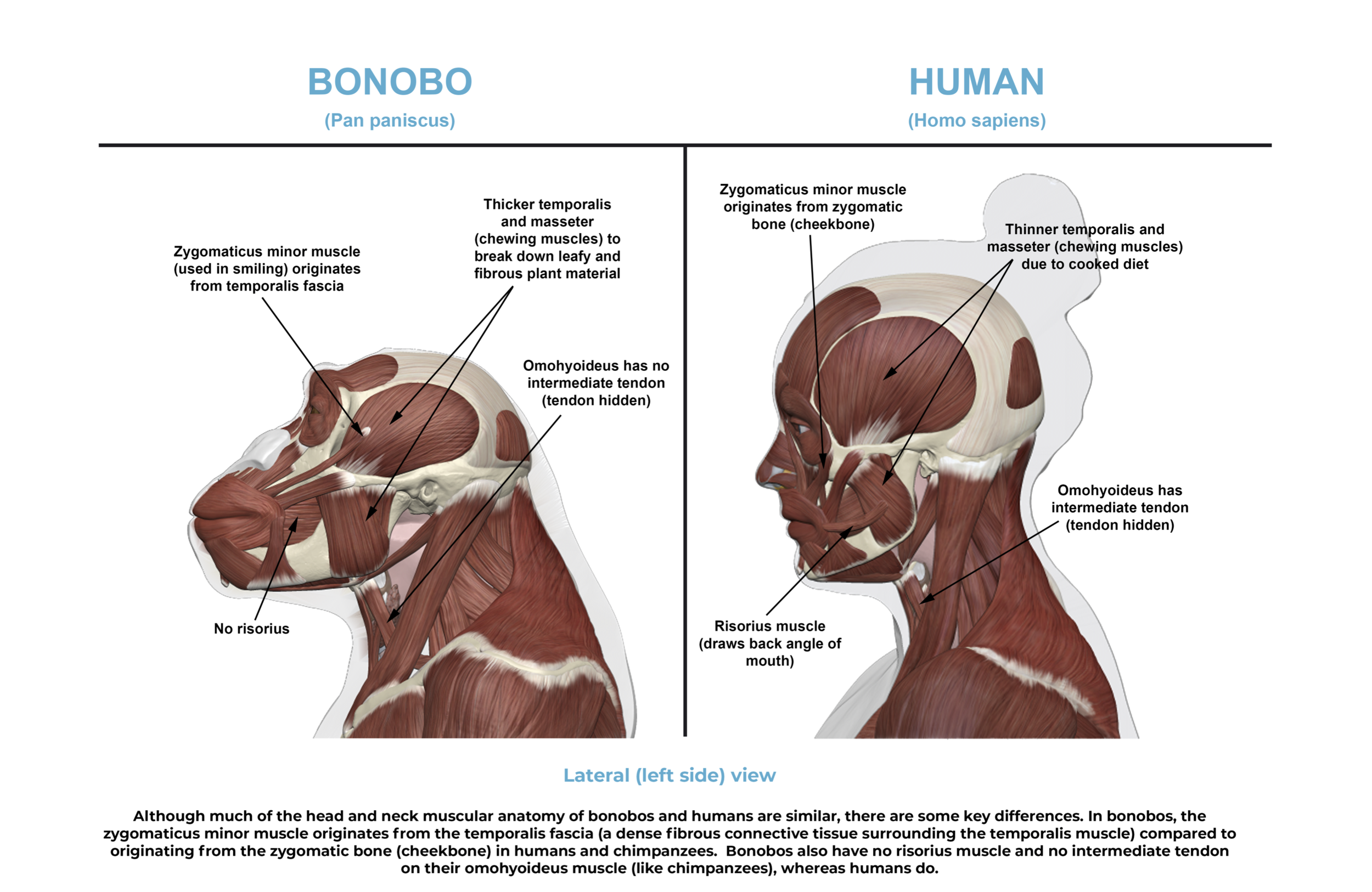 Comparative anatomy guide_head and neck muscles.png