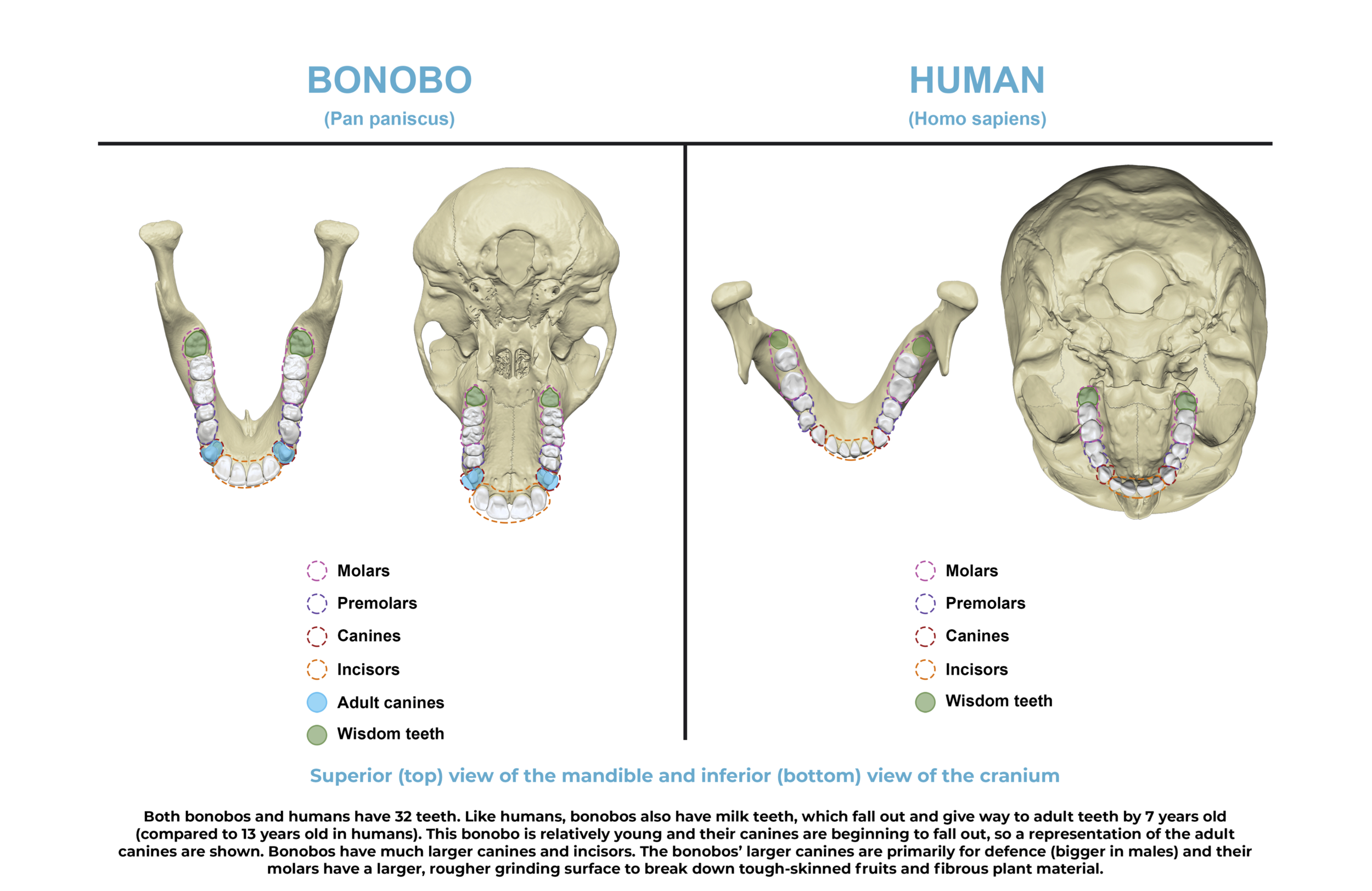 Comparative anatomy guide_teeth.png