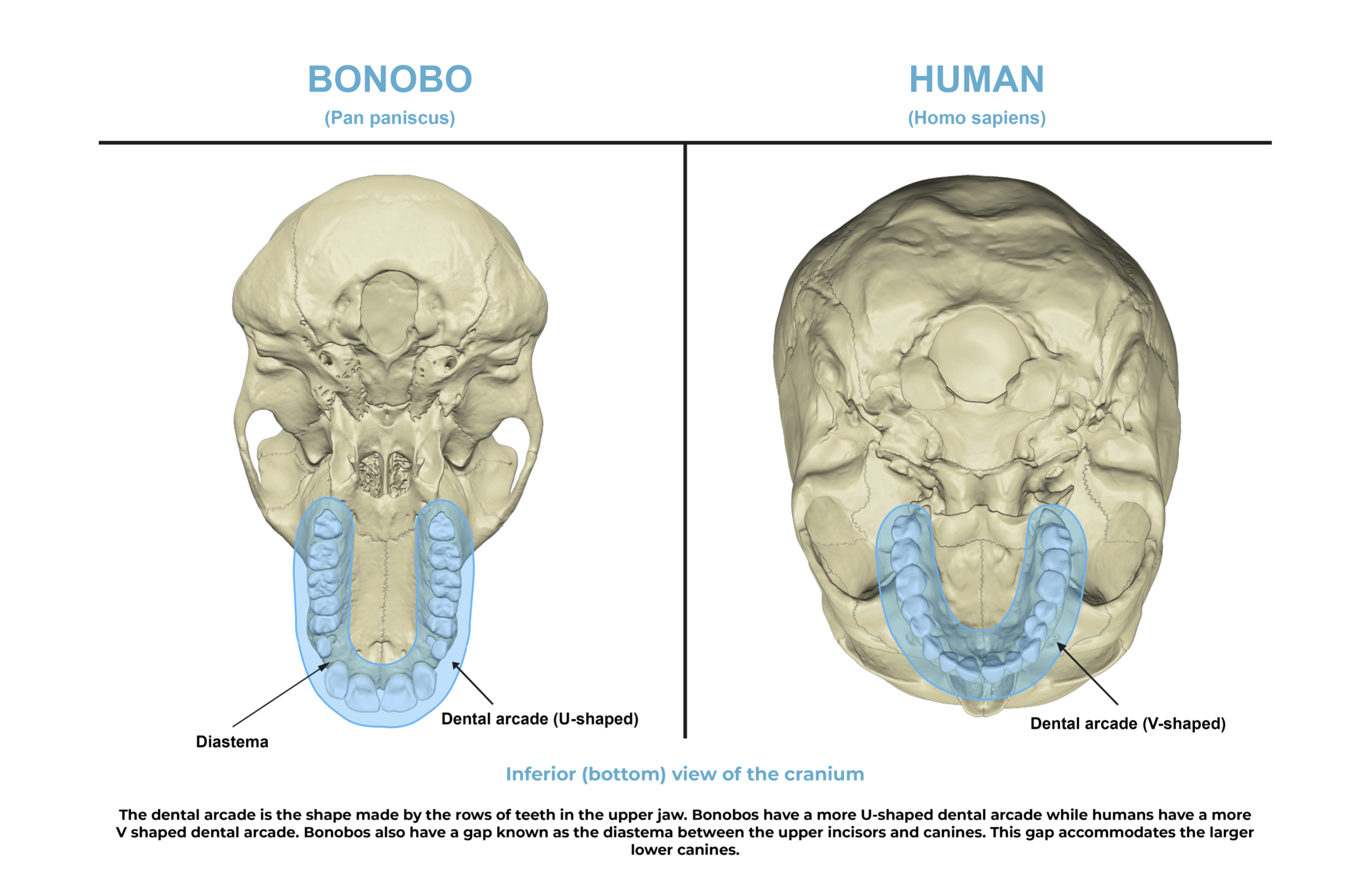 Comparative anatomy guide_ dental arcade.png