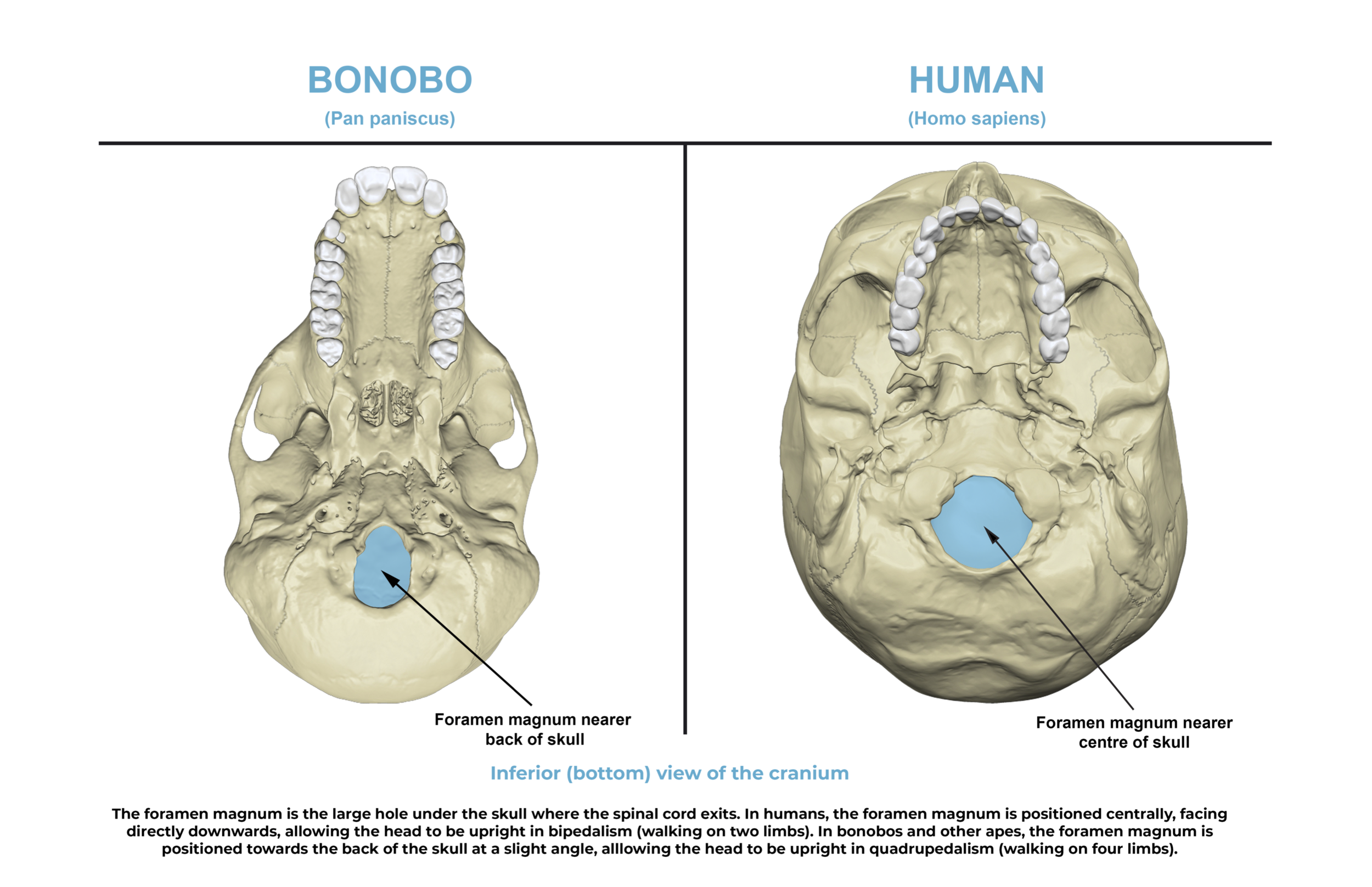 Comparative anatomy guide_ bottom skull.png