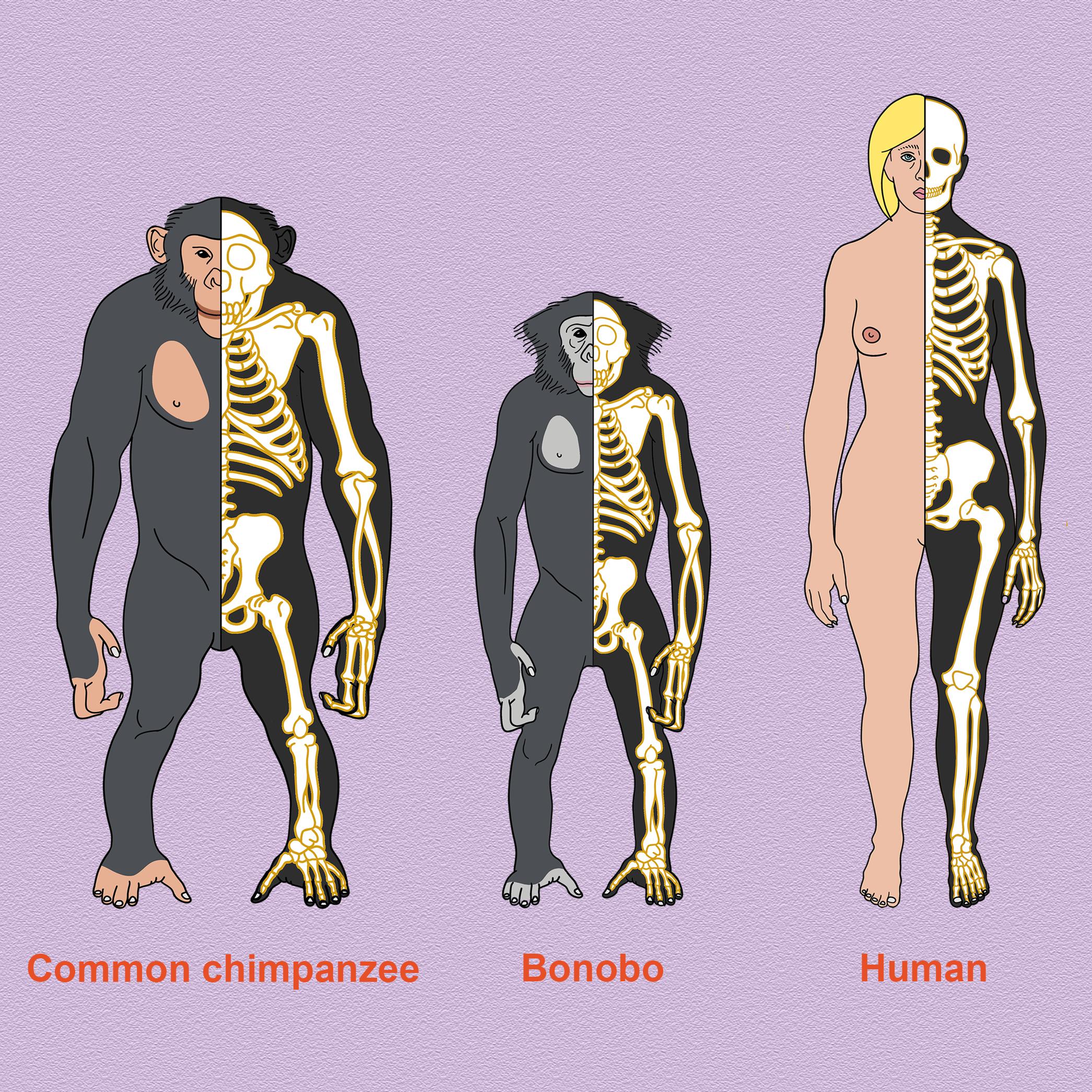 Chimp bonobo human standalone square.png