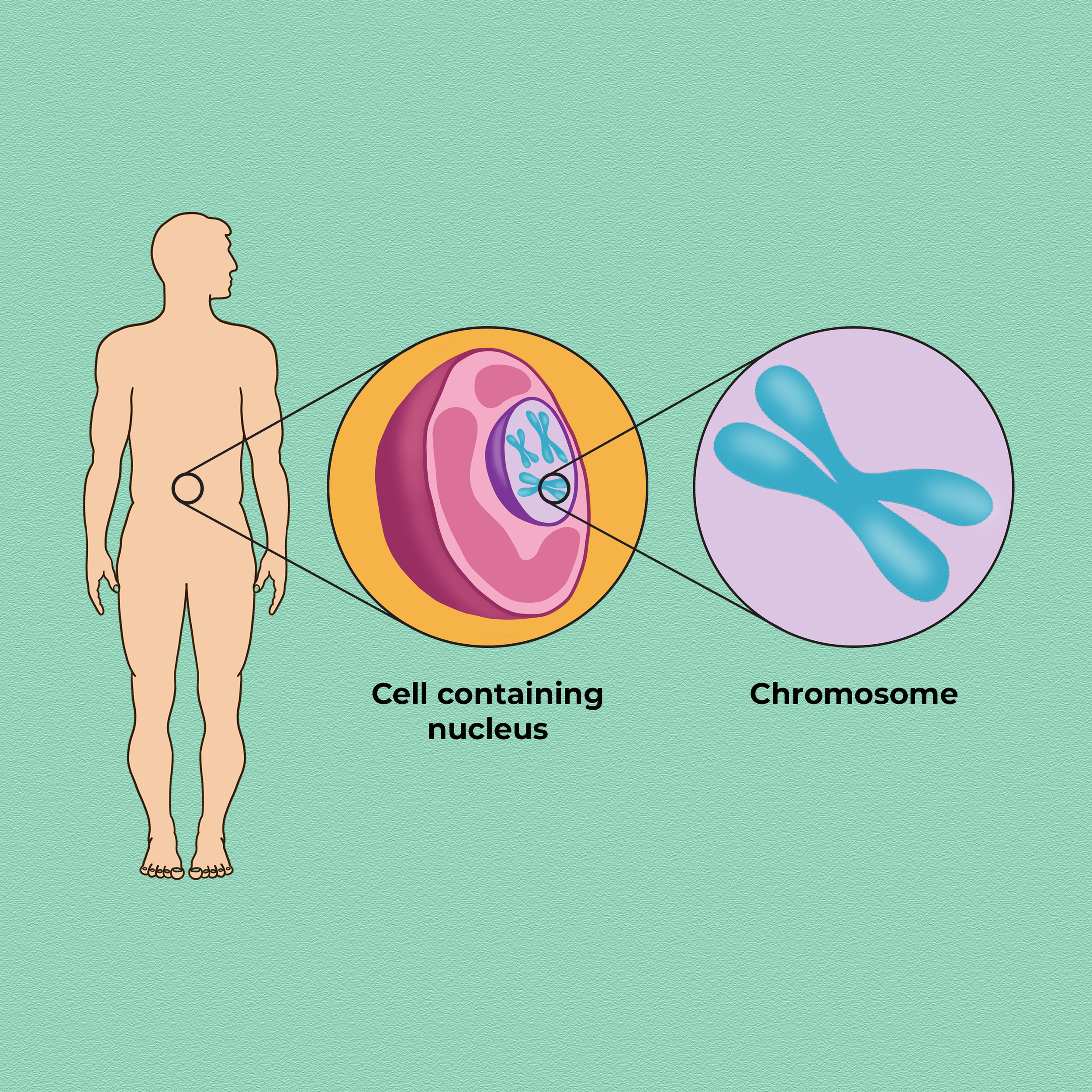 organism cell chromosome square.png