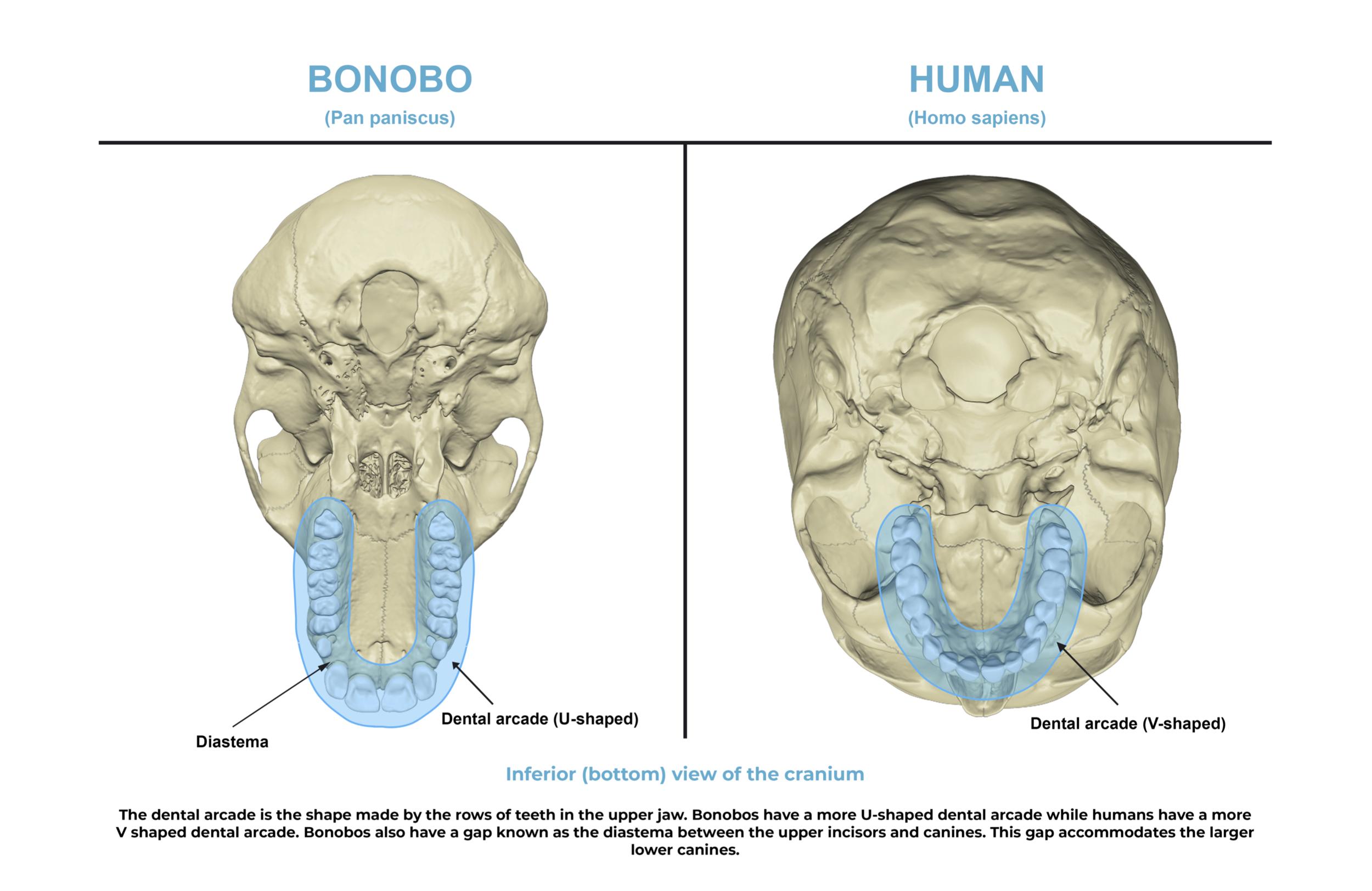 Comparative anatomy guide_ dental arcade.png
