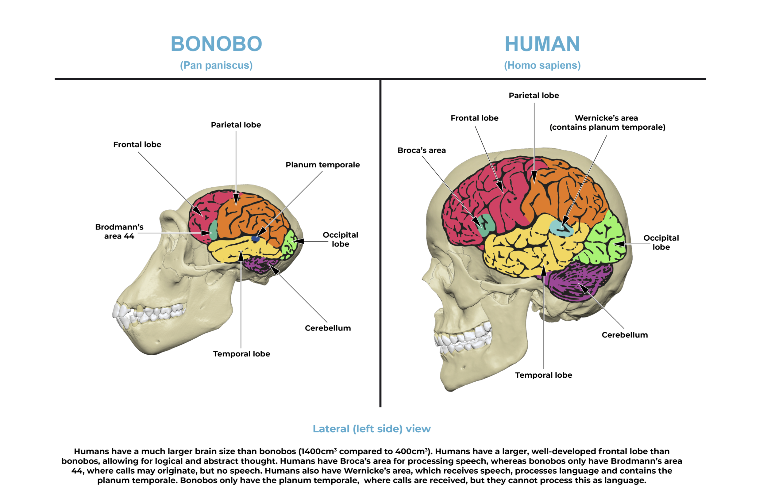 Comparative anatomy guide_ brain.png