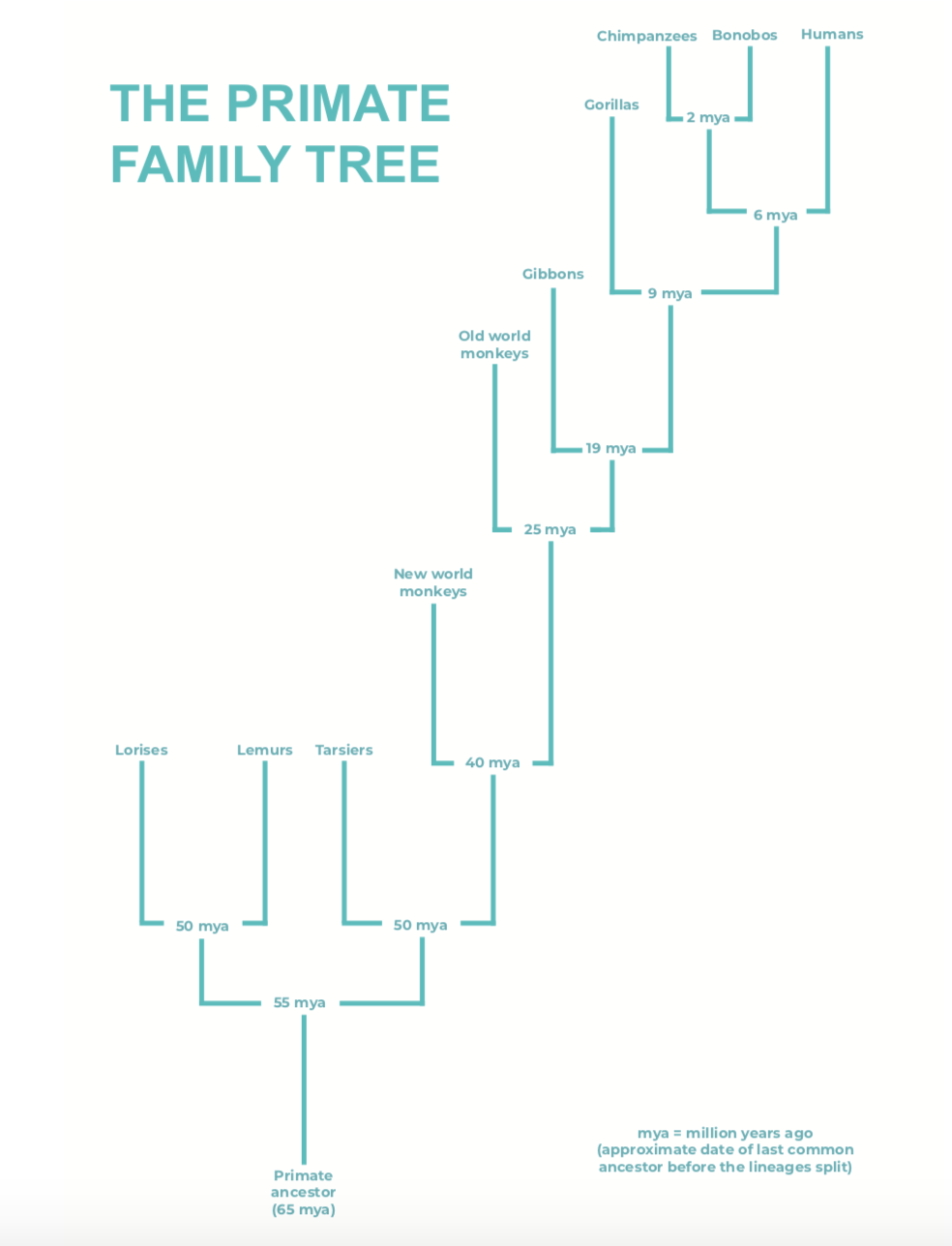 the primate family tree.png
