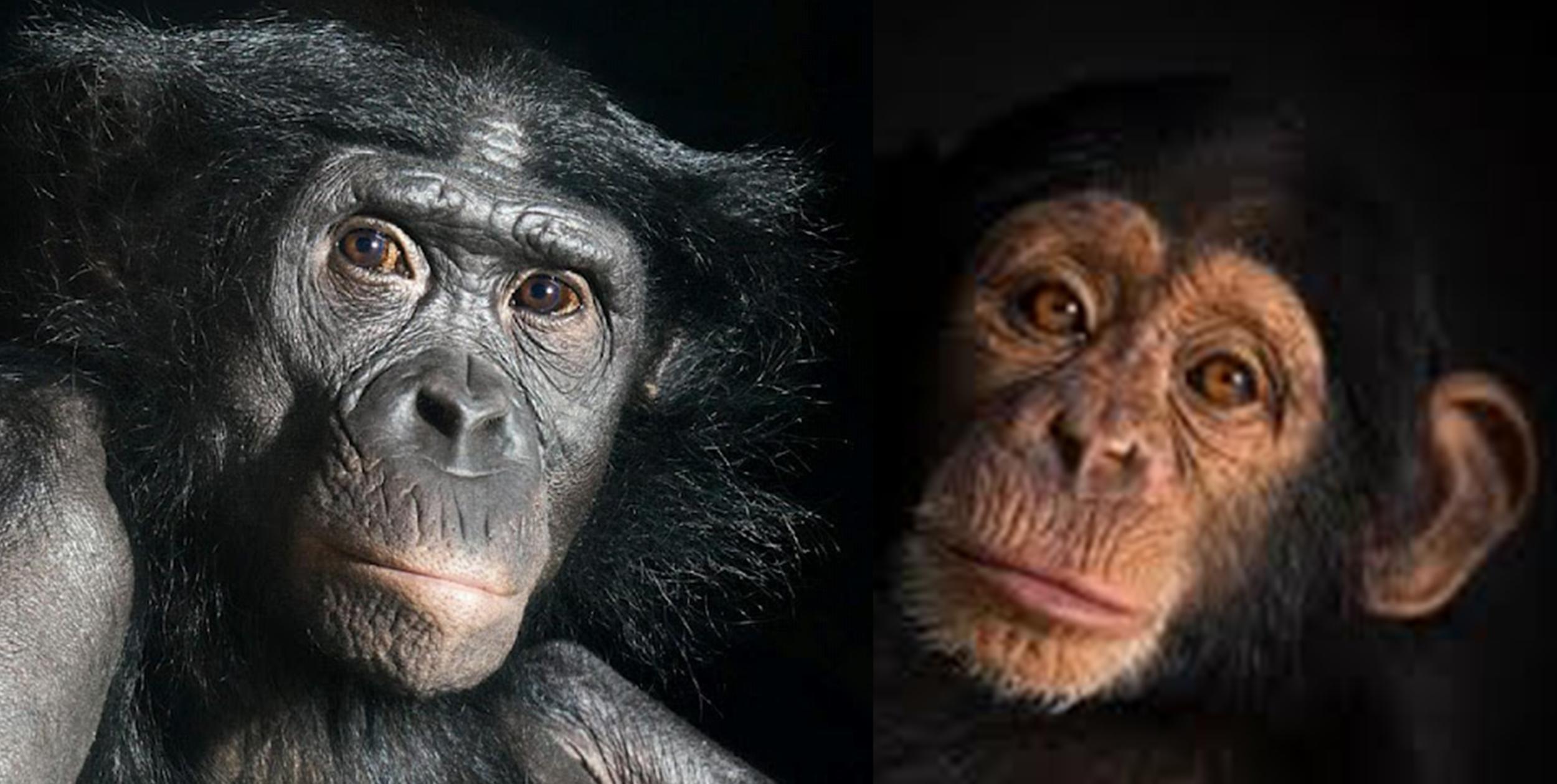 What sounds do bonobos and chimpanzees make? -