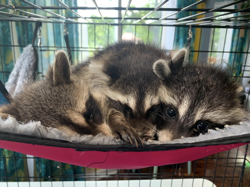 cuddle puddle of raccoons.png