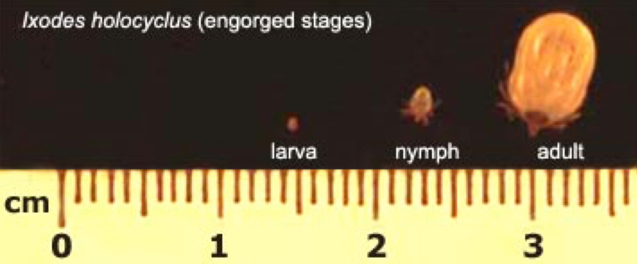 Engorged ticks of different stages – larval, nymph and adult