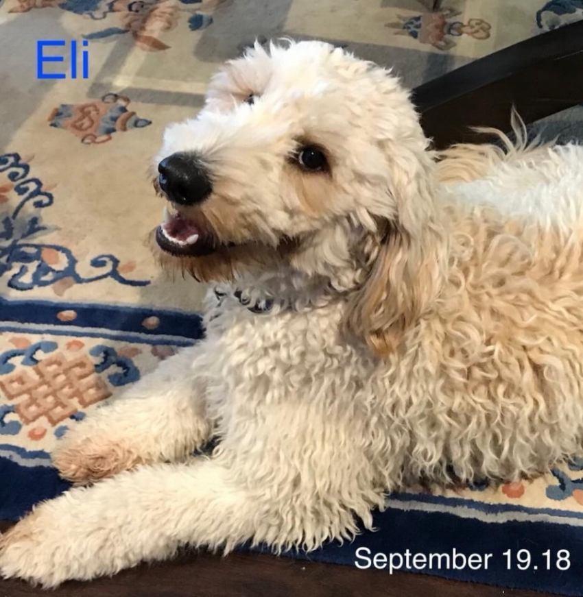 Eli - SireHeight - 21.5 inches highWeight - 35 pounds