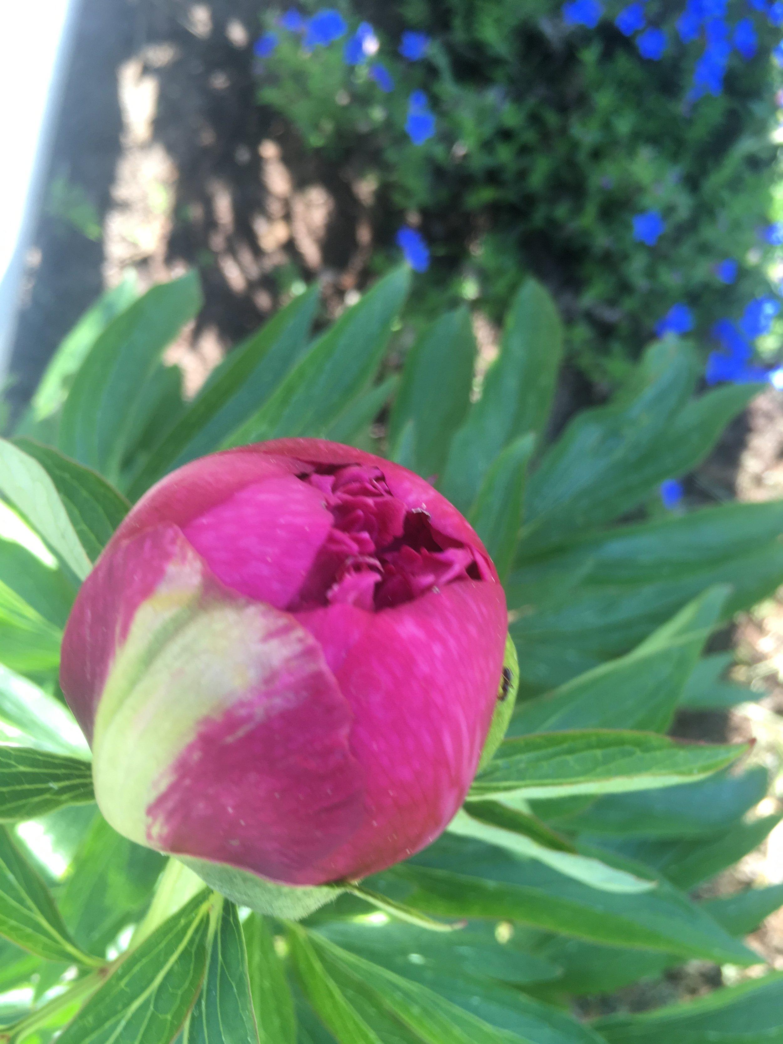 Apropå att spira. Här är en doftpion i min trädgård. I måndags
