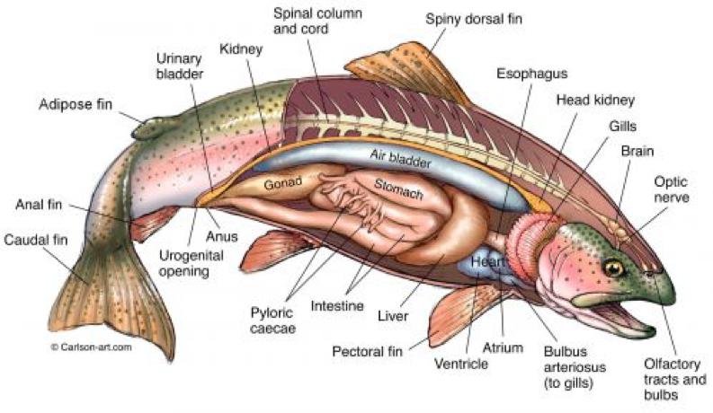 Salmon anatomy.png