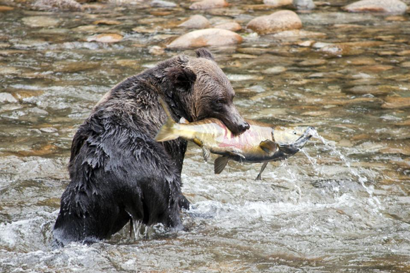 Bear and Salmon.png
