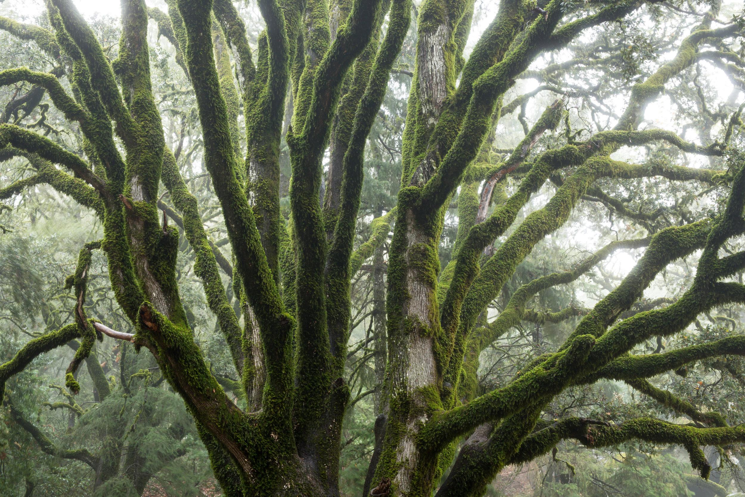 tree with moss.jpeg