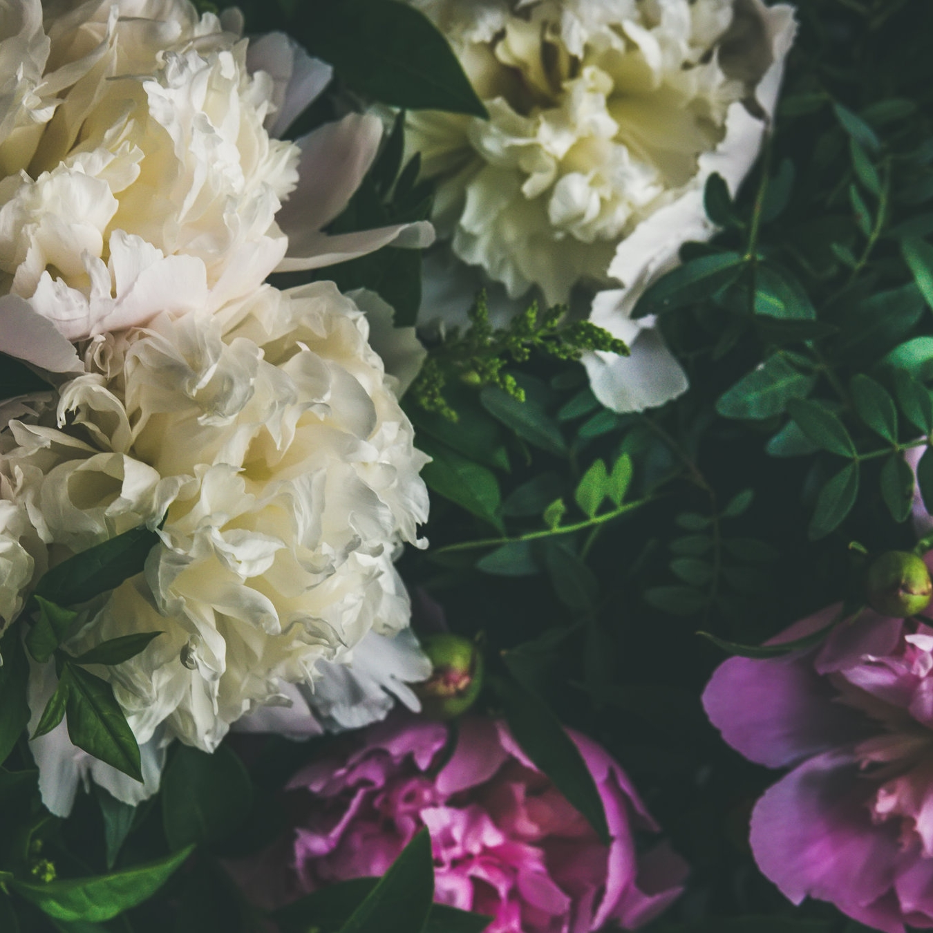white-and-pink-peony-flowers-over-dark-background-PK3GN4M.jpg