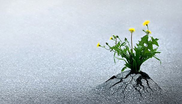 Breakthrough-Dandelion.jpg