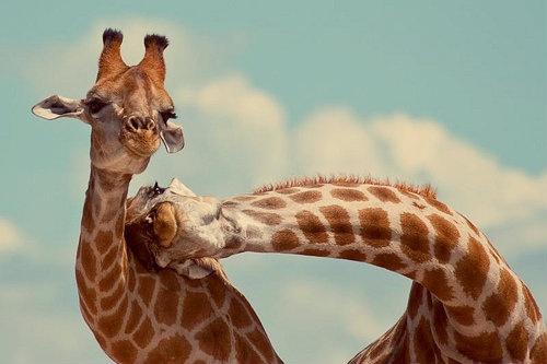 two-giraffes.jpg