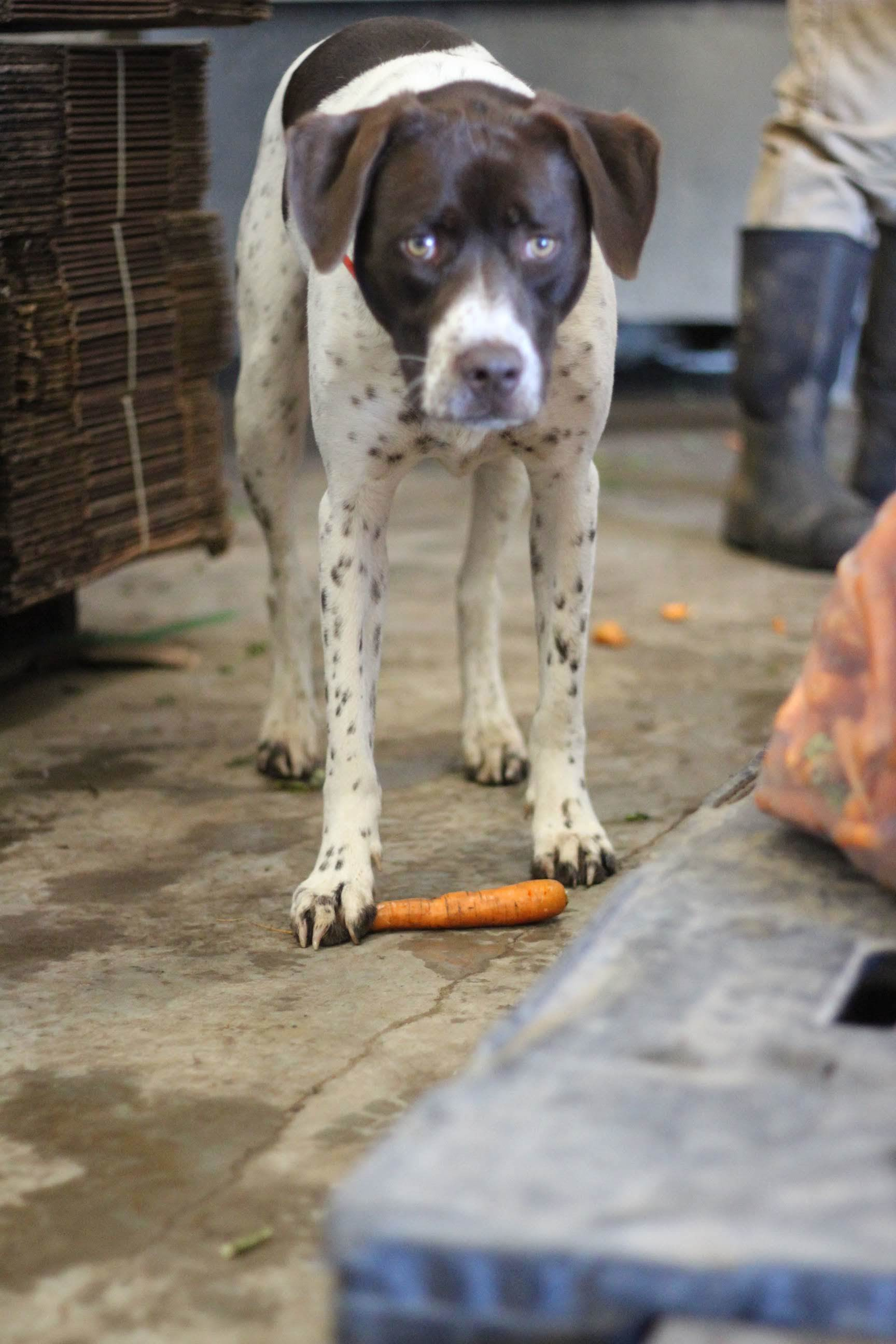Did you know carrots make for a tasty and healthy treat for you pup?