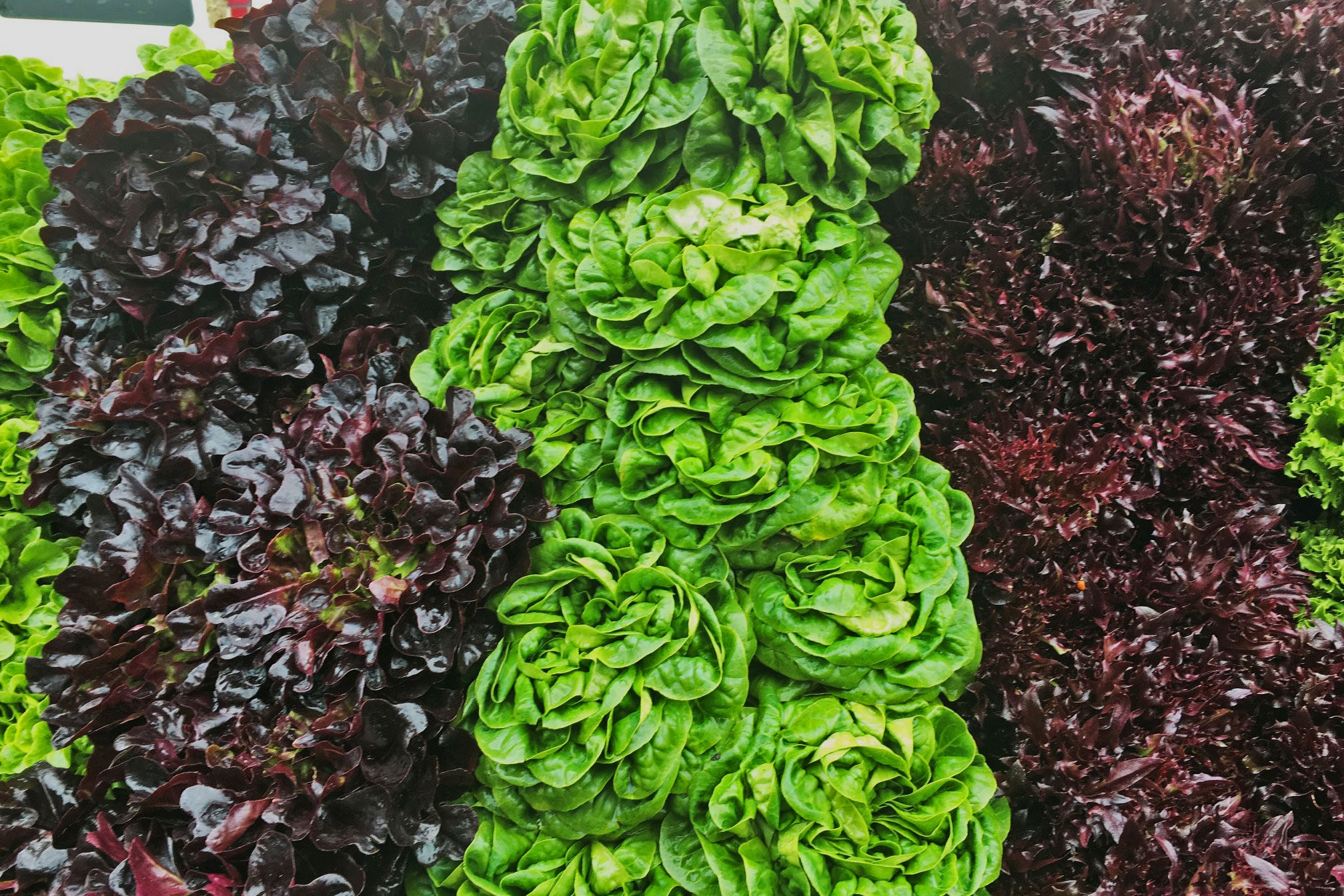 Salanova Lettuce is a variety of head lettuce that is truly eye-catching in our display. Not to mention mighty tasty!