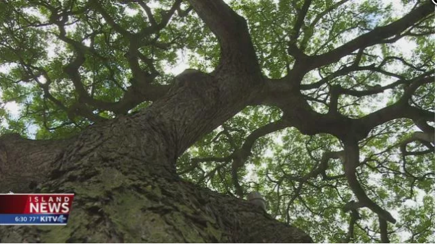 In a win-win-win for the community, the landlord and public safety, Dale Kobayashi worked out a compromise to preserve Manoa Marketplace's historic monkeypod trees.