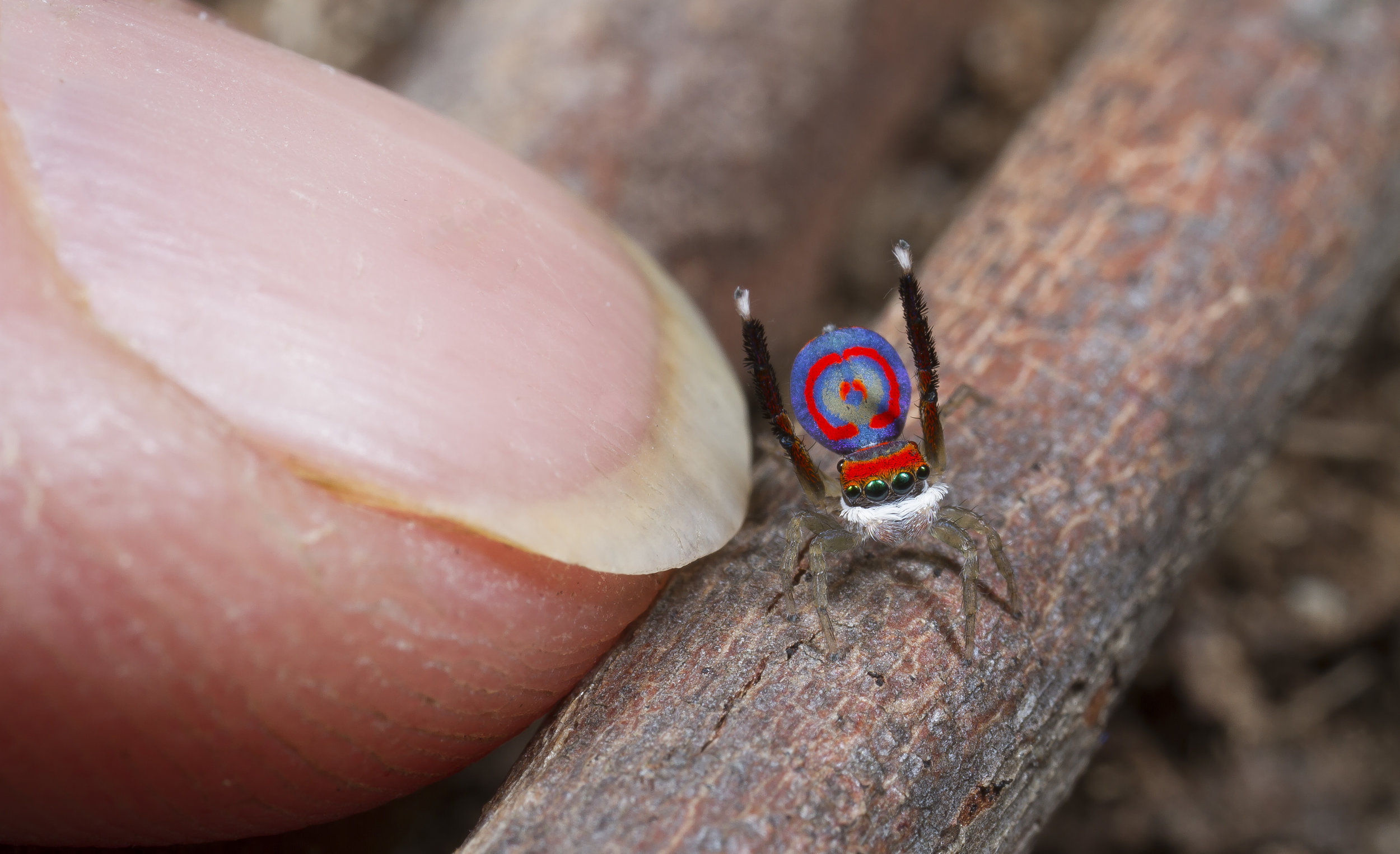Adult male of Maratus splendens, a medium sized peacock spider, next to my index finger