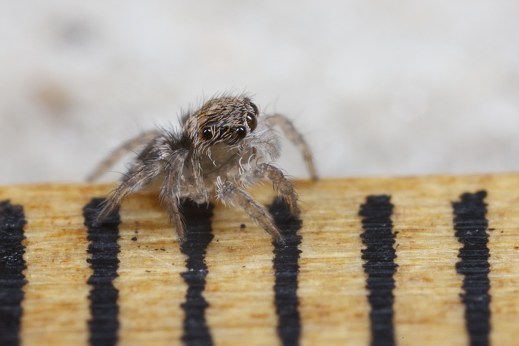 juveniles (2nd instar) of Maratus jactactus on the same ruler as in previous picture. Distance between two bars is 1 mm.