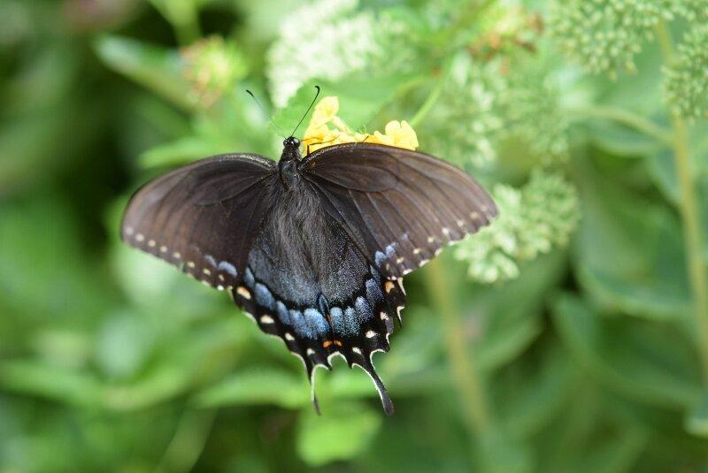 butterfly-5-gibbs-garden-atlanta.jpg